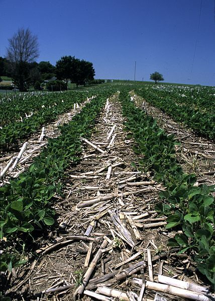 Soybeans in no till field