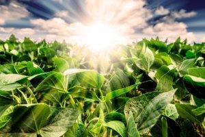 Sunrise over a soybean field x