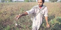 Monsanto has no patent on GMO Bt cotton seeds, Indian court rules