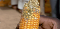 aflatoxin contamination 3823772a