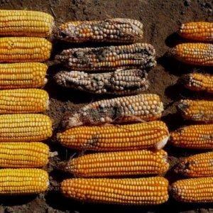 GMO Bt corn maize 43277