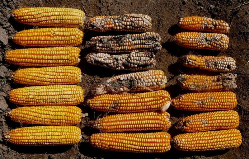 GMO Bt corn maize 43277