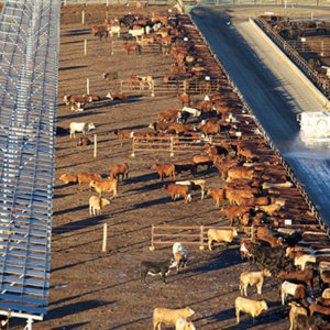 Managed well, cattle feedlots can be the environmental and
