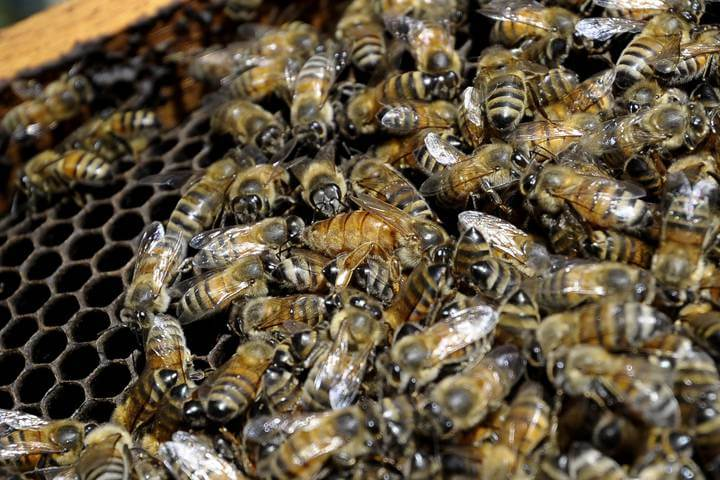 honeybees neonicotinoids glyphosate 43279055