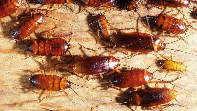 Why the cockroach is hard to kill—and what its genetics teaches us about adapting to environments