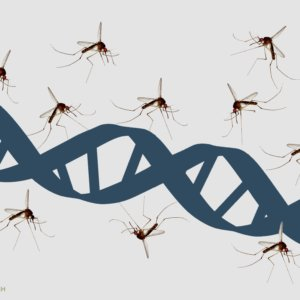 mosquito and dna