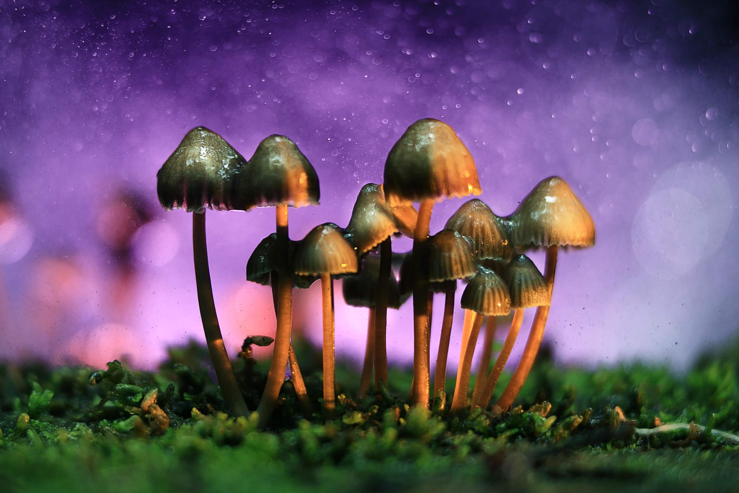 Examining the curious genes behind 'magic mushrooms