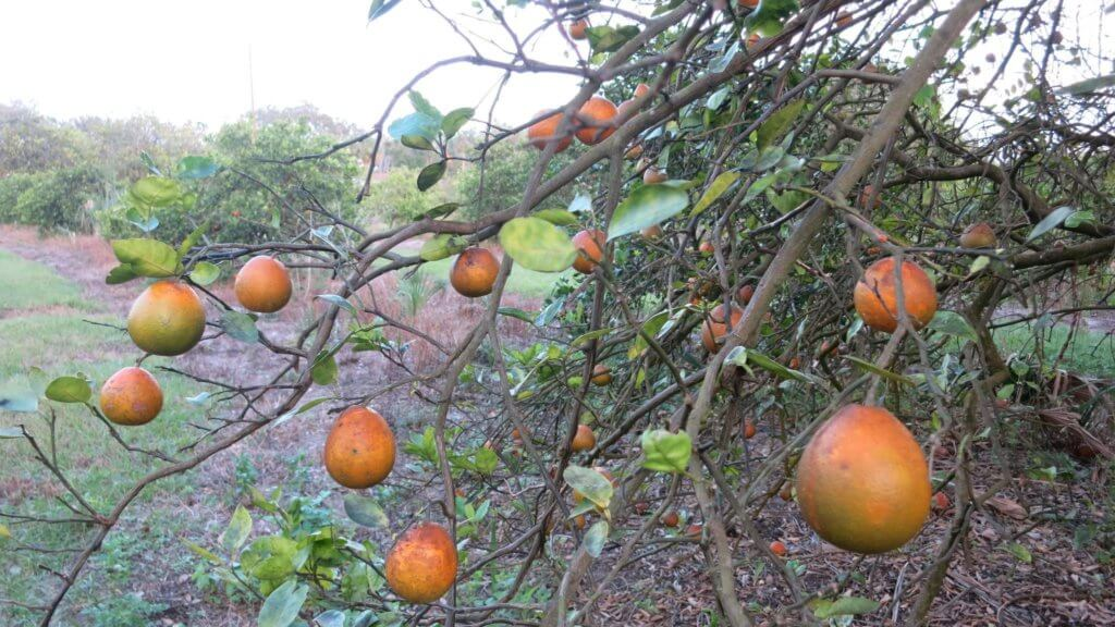 os ht florida citrus greening federal spending