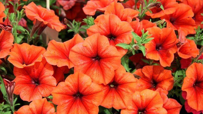 No Petunias Were Harmed In >> Mystery Source Of Orange Gmo Petunias Identified Genetic Literacy