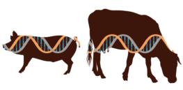crispr gene edit pig cow 432327