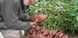 sweet potato 43277
