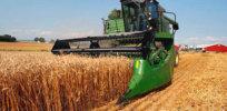crispr wheat 34277