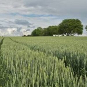 wheat field crop agriculture trees x