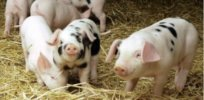Scientists spreading virus that killed Piglets in China x