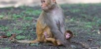 Rhesus species