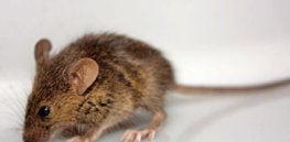 The Mystery Of The Mutant Mice That Never Got Fat ubg tlcbmz xj gghzwg