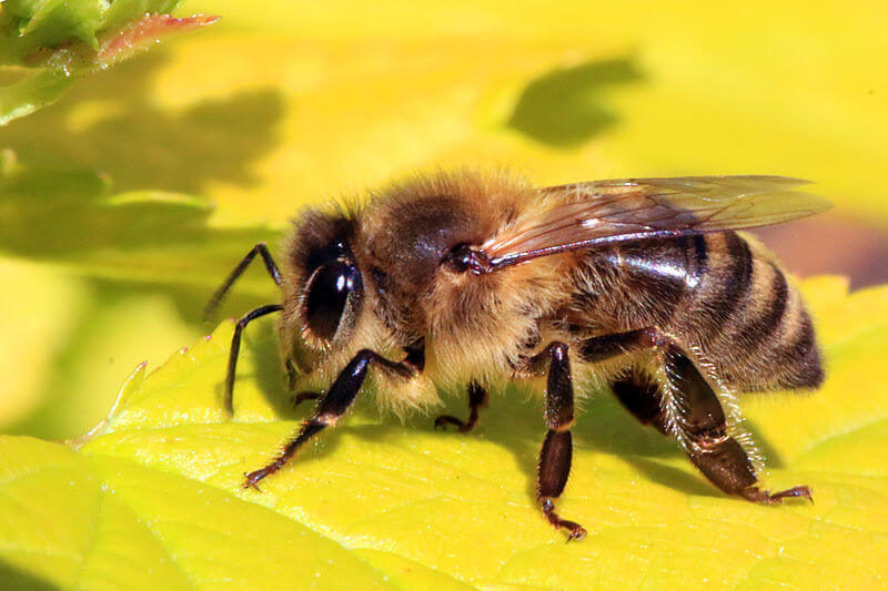 Honey_bee_Apis_mellifera_neonicotinoids_pesticides_neonics
