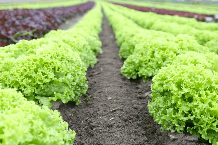 Organic lettuces Public Domain