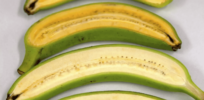 GMO golden banana vitamin A uganda 3283