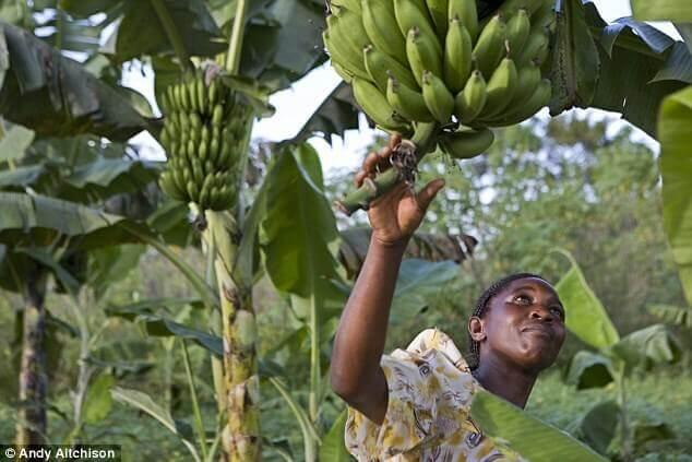Uganda GMO banana 327327