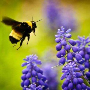 bee and purple flowers