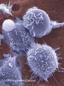 bm stem cells