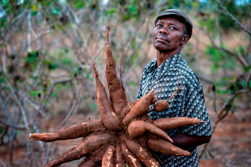 Talking Biotech: Can genetically engineered cassava help African farmers?
