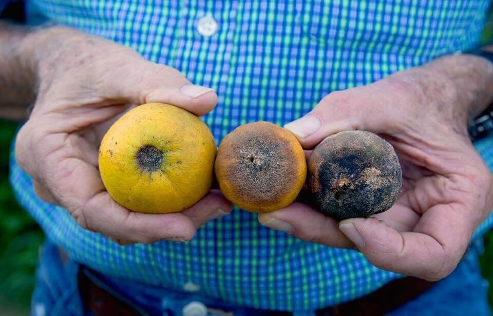 citrus greening boston organics