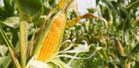 EU GMO crop regulation 4384