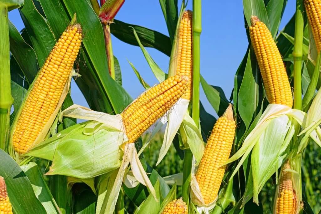 GMO corn photosynthesis 474327