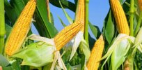 GMO corn photosynthesis 474327