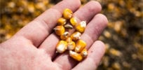 corn kernels hand field x