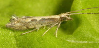 diamondback moth 5 16 18