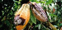CRISPR chocolate? Gene editing boosts cacao trees' disease resistance