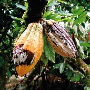 frosty pod rot cacao Mycologia alme et al