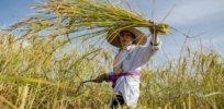 rice harvest 382737