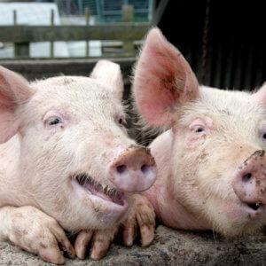 pig poo happy pigs