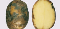 potato blight ireland 3273277