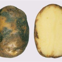 potato blight ireland 3273277