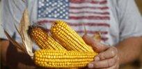 GMO corn china 38237