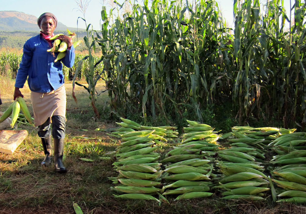south africa corn maize 328832