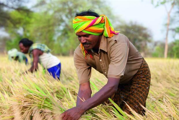 India hybrid rice farmer 38238