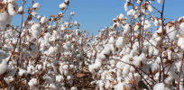 Cotton Farm123