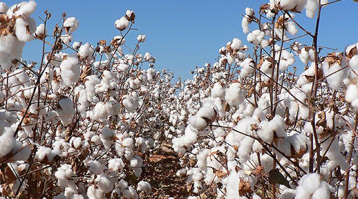 Cotton Farm123