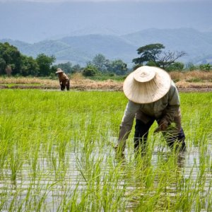 6-17-2018 thailands-rice-farmers
