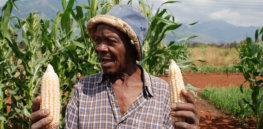 africa corn farmer 3277