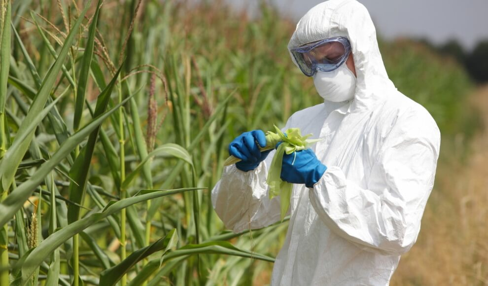 GMO crops so efficient at killing pests, adjacent non-GMO crops are also protected | Genetic ...