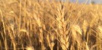 GMO wheat Canada 328327