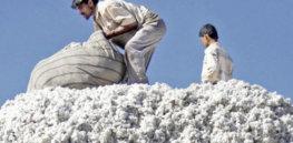 India GMO Bt cotton 37237