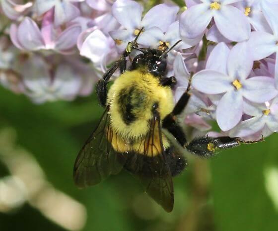 bumblebee queen 32838